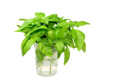 Basil Bunch. Bunch of fresh basil (Ocimum basilicum) branches and leaves in water; white background Royalty Free Stock Photography