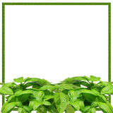 Basil Bunch Border. Bunch of fresh basil (Ocimum basilicum) branches and leaves; white background stock photography