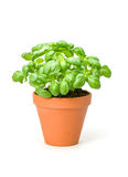Basil in a clay pot Stock Photos