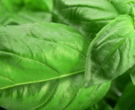 Basil from close angle. Basil (Spice vegetable for italian food Stock Photo