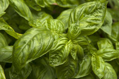 Basil Close Up. A close up of basil royalty free stock image