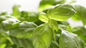 Basil stock video footage
