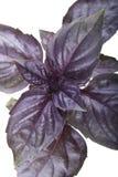 Basil close up Royalty Free Stock Images