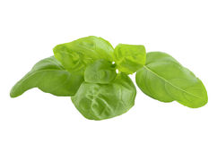 Basil closeup Stock Images