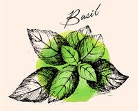 Basil. Compilation of vector sketches. Kitchen herbs and spice. Vintage style. Hand drawn Royalty Free Stock Photos