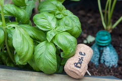 Basil with cork sign in a vegetable garden Stock Images