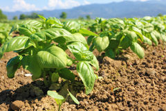 Basil cultivated field Royalty Free Stock Image