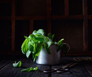 Basil in a cup, a pair of scissors on a dark wooden background Royalty Free Stock Photos