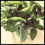 Basil cuttings in jars Stock Photo