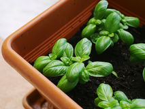 Basil dans un pot rectangulaire Photos libres de droits