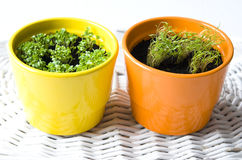 Basil and Dill Pots Stock Images