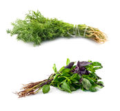 Basil and dill Stock Photo