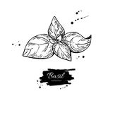 Basil  drawing. Isolated Basil plant with leaves. Royalty Free Stock Images