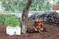 Basil, drzewo oliwne i tiller, Obrazy Royalty Free