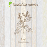 Basil, essential oil label, aromatic plant Stock Images