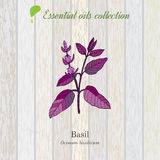 Basil, essential oil label, aromatic plant Royalty Free Stock Photo