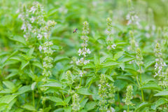 The basil field with flowers Stock Photography