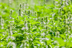 The basil field with flowers Stock Images