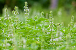 The basil field with flowers Stock Image