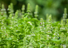 The basil field with flowers Stock Photo