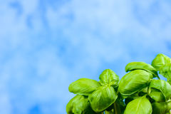 Basil flavor Royalty Free Stock Image