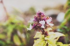 Basil Flower fotografia de stock royalty free