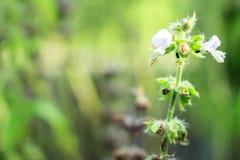Basil Flower Stock Foto's