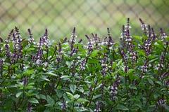 Basil Flower Royalty Free Stock Photo