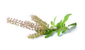 Basil Flower lizenzfreie stockfotografie