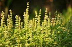 Basil Flower Fotografia Stock Libera da Diritti