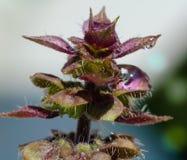 Basil Flower Photographie stock libre de droits