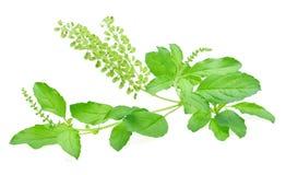 Basil Flower Imagem de Stock Royalty Free