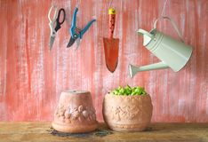 Basil in a flower pot, gardening. Tools, free copy space Royalty Free Stock Photos