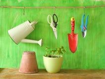 Basil in a flower pot, spring gardening Stock Images