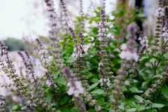At the basil flower stalks Royalty Free Stock Photography