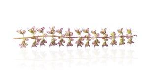 Basil flower Royalty Free Stock Image