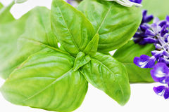 Basil and flowering sage Stock Photography
