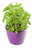 Basil in a flowerpot. Isolated on white background stock photo