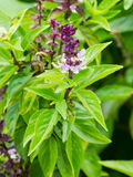 Basil flowers in the garden Royalty Free Stock Images