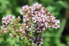 Basil flowers stock photos