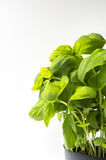 Basil. Fresh basil excellent deposit for use in healthy cuisine Royalty Free Stock Image