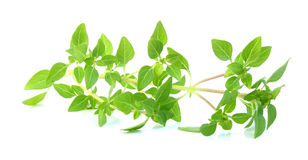 Basil fresh leaves Royalty Free Stock Image