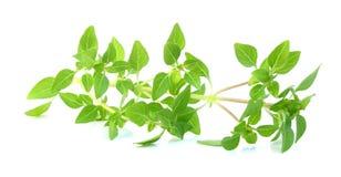 Basil fresh leaves Royalty Free Stock Image