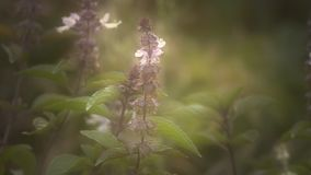 Basil In The Garden stock footage