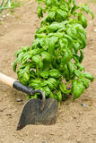 Basil In The Garden Royalty Free Stock Photography