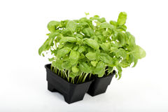 basil green Zdjęcie Stock