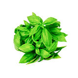 Basil green bundle Stock Photography