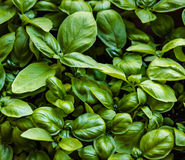 Basil. Green fresh basil in the sunlight Royalty Free Stock Photo