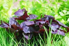 Basil and green grass Stock Photos