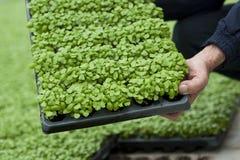 Basil green house Stock Image